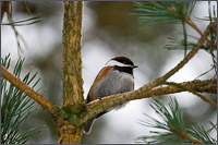 chestnut backed chickadee poecile rufescens