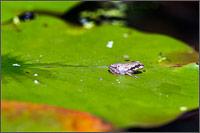 pacific tree frog - pseudacris regilla