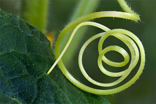 cucumber tendril in a greenhouse in the fraser valley of british columbia