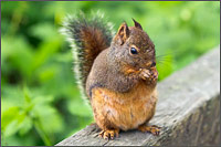 douglas squirrel in campbell valley park in langley bc