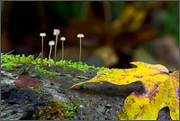 group of small mushrooms in campbell valley park, langley, british columbia
