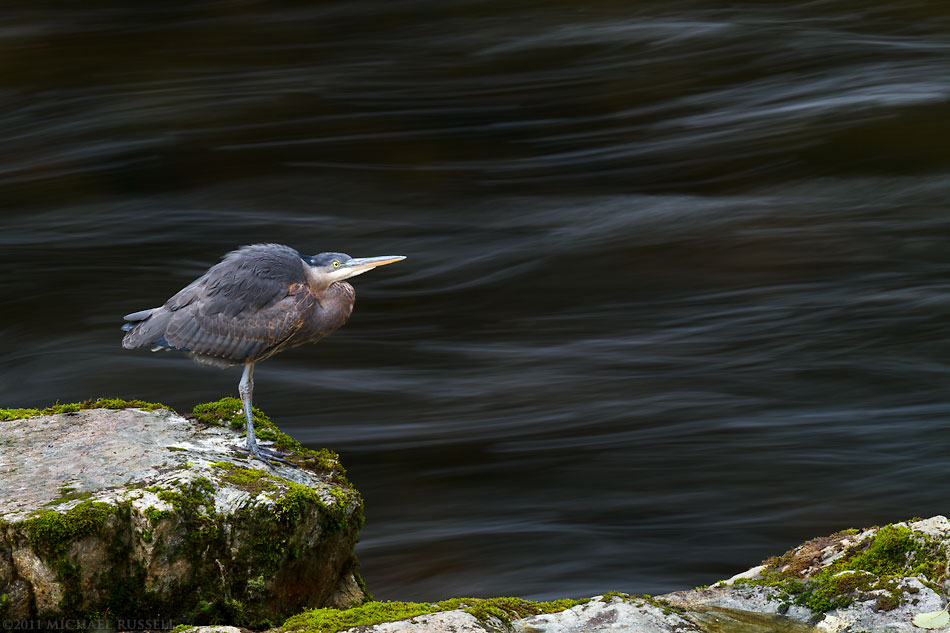 great blue heron in the capilano river in north vancouver