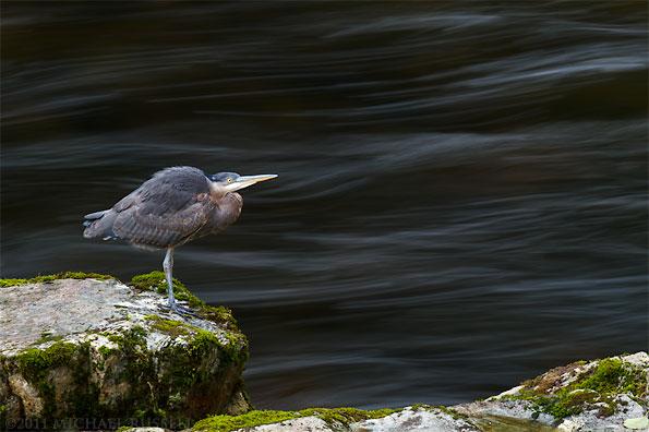 great blue heron - ardea herodias - at the capilano river