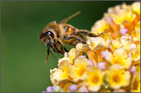 honeybee apis mellifera foraging on a buddleja flower