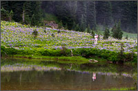 woman takes a cell phone photo of wildflowers around tipsoo lake at mount rainier national park in washington state usa