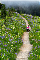 a photographer kneels to photograph wildflowers around tipsoo lake at mount rainier national park in washington state usa