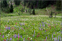 wildflowers around tipsoo lake at mount rainier national park in washington state usa