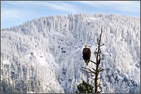 bald eagle halieaeetus leucocephalus with mount woodside in the background near the harrison river in british columbia, canada
