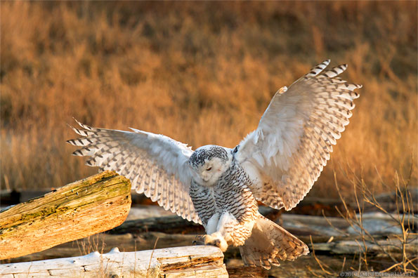 a snowy owl - bubo scandiacus - hops to a different piece of driftwood at boundary bay british columbia canada