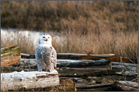 a snowy owl - bubo scandiacus - keeps an eye out for a dive bombing harrier at boundary bay - british columbia - canada