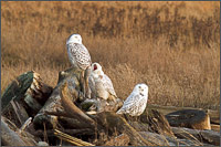 a snowy owl - bubo scandiacus - yawning at boundary bay - british columbia - canada