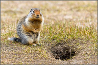 a columbian ground squirrel - urocitellus columbianus - posing for a portrait by its burrow at manning provincial park in british columbia, canada