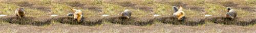 a columbian ground squirrel - urocitellus columbianus - scratching its back at manning provincial park in british columbia, canada