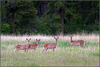 a group of columbian black tailed deer odocoileus hemionus columbianus standing in a field at ellison provincial park - vernon - british columbia - canada