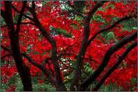 red japanese maple fall colours fraser valley british columbia canada