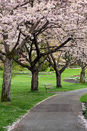 spring cherry blossoms in stanley park in vancouver british columbia