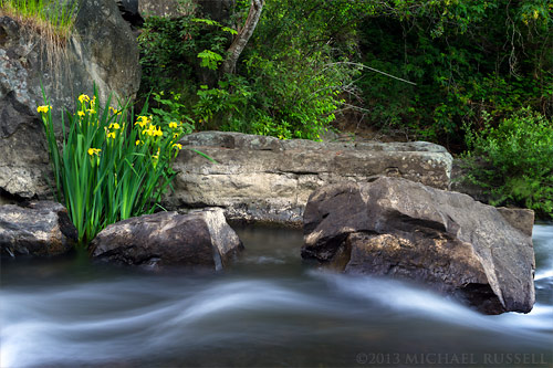 yellow flag iris growing by millstone river at bowen park in nanaimo, british columbia