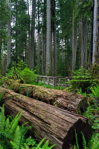 fallen trees in cathedral grove at macmillan provincial park near port alberni, british columbia