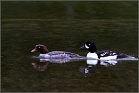 a pair of barrows goldeneye swimming in lightning lake in manning provincial park