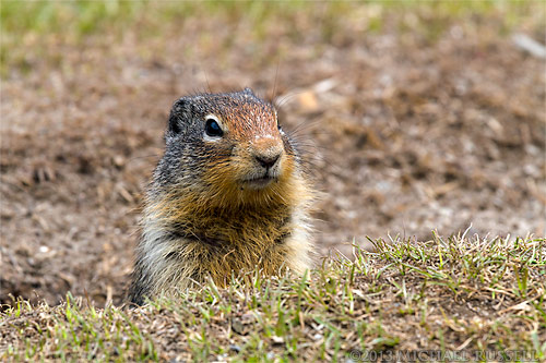 columbian ground squirrel watching from a burrow in manning provincial park