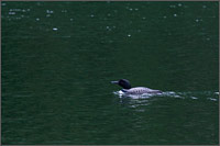 a common loon swimming in lightning lake in manning provincial park