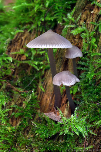 mushrooms on a mossy stump at campbell valley park in langley british columbia