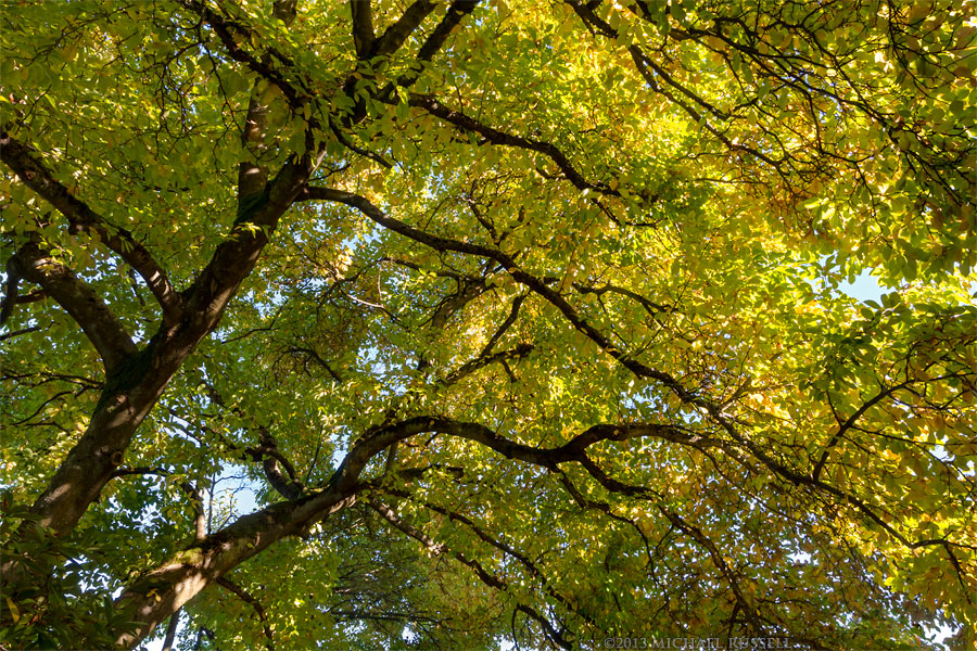 Star Mangolia Tree Fall Foliage Color