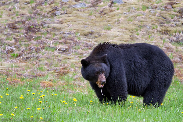 A Black Bear (Ursus americanus) eating dandelion flowers