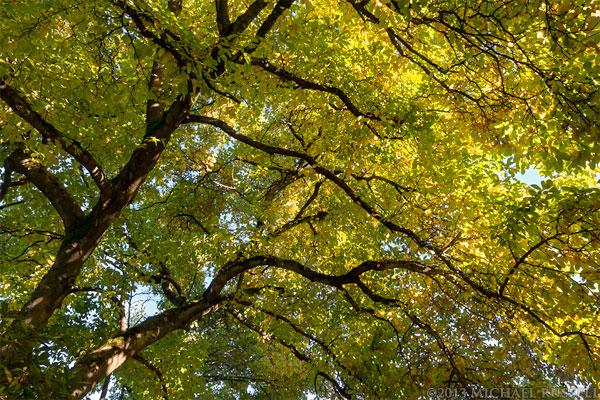 Star Magnolia tree fall leaf colour at Queen Elizabeth Park