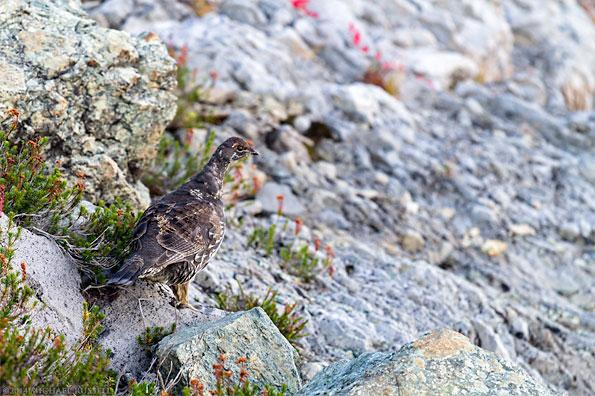 sooty grouse dendragapus fuliginosus)