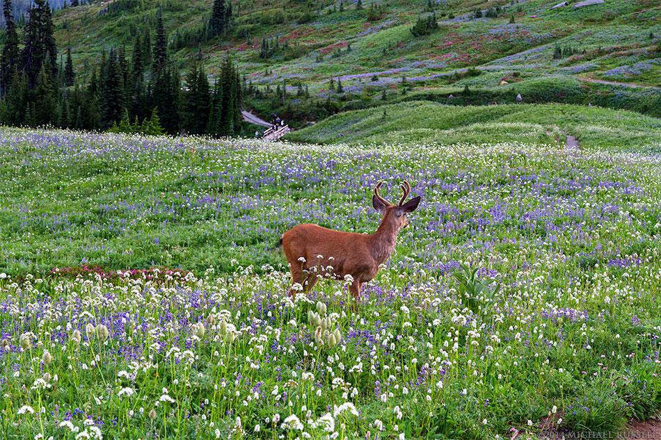 black tailed deer foraging in wildflower field