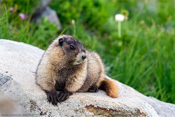 hoary marmot in mount rainier national park