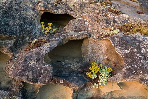 Broad-Leaved Stonecrop (Sedum spathulifolium) growing on the sandstone in Biggs Park near Nanaimo