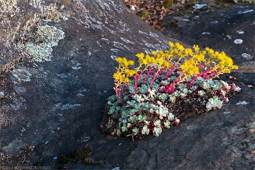 Broad-Leaved Stonecrop (Sedum spathulifolium) growing on the sandstone in Biggs Park near Nanaimo, British Columbia, Canada