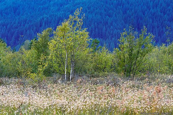 Birch trees and cotton grass at pitt marsh