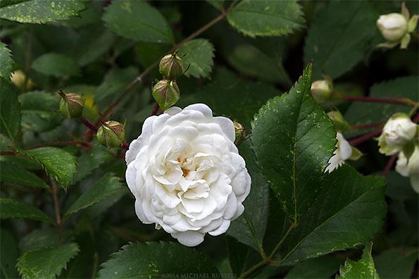 shrub rose alba meidiland