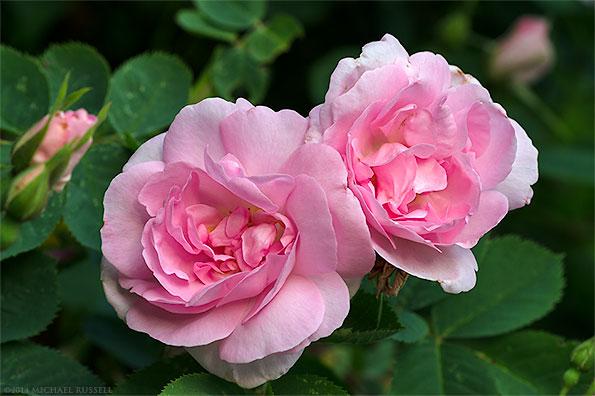 celestial roses