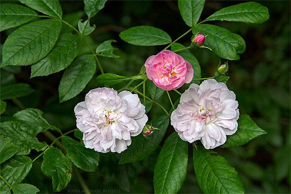 dentelle de malines rose