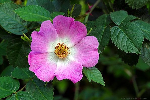 eglantine rose