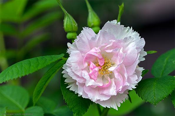 fimbriata rose