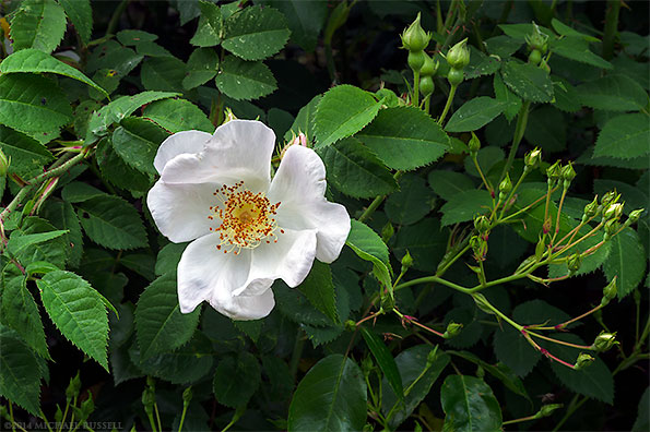 rose macrantha