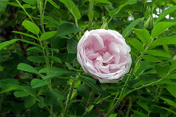 *Schneekoppe rose