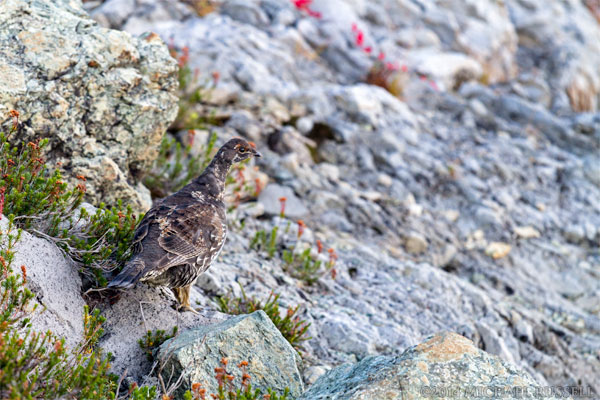 sooty grouse dendragapus fulginosus at mount baker