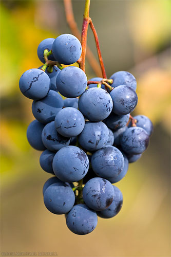 concord grape cluster in a fraser valley vineyard