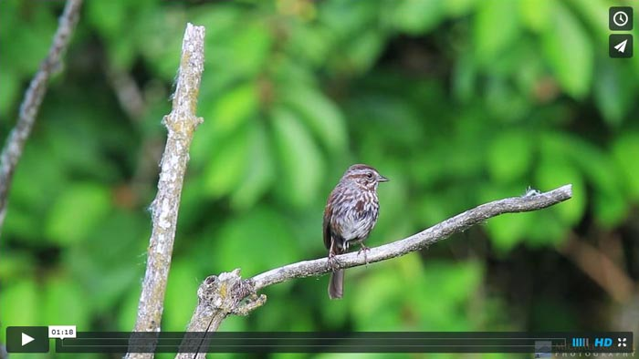 song sparrow singing video