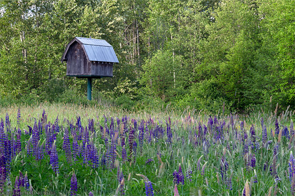 bigleaf lupines at elgin heritage park in crescent beach