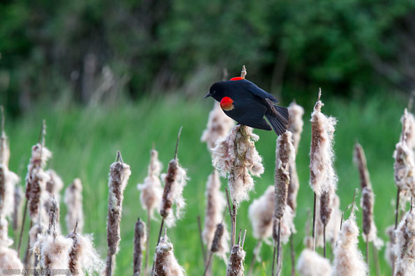 red-winged blackbird in the marsh at elgin heritage park in surrey bc