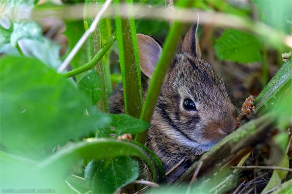 baby eastern cottontail rabbit hiding in a backyard garden