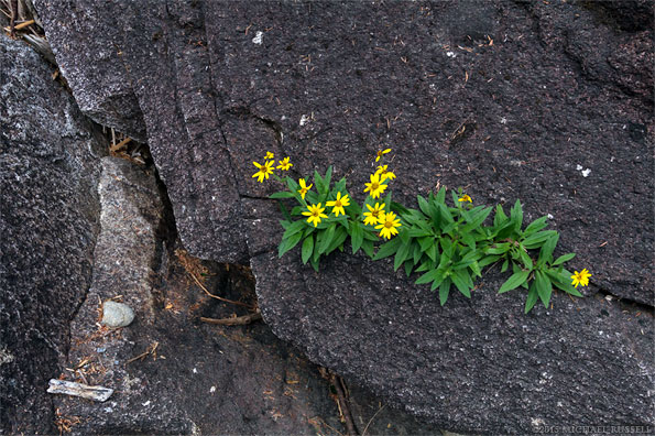 streambank arnica growing out of rocks near lower falls