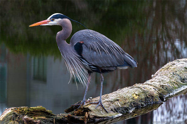 great blue heron sitting on a log in vancouver bc